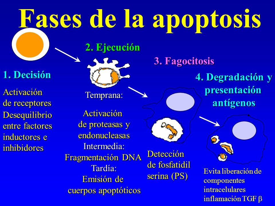 Fases de la apoptosis 2. Ejecución 3. Fagocitosis 1. Decisión