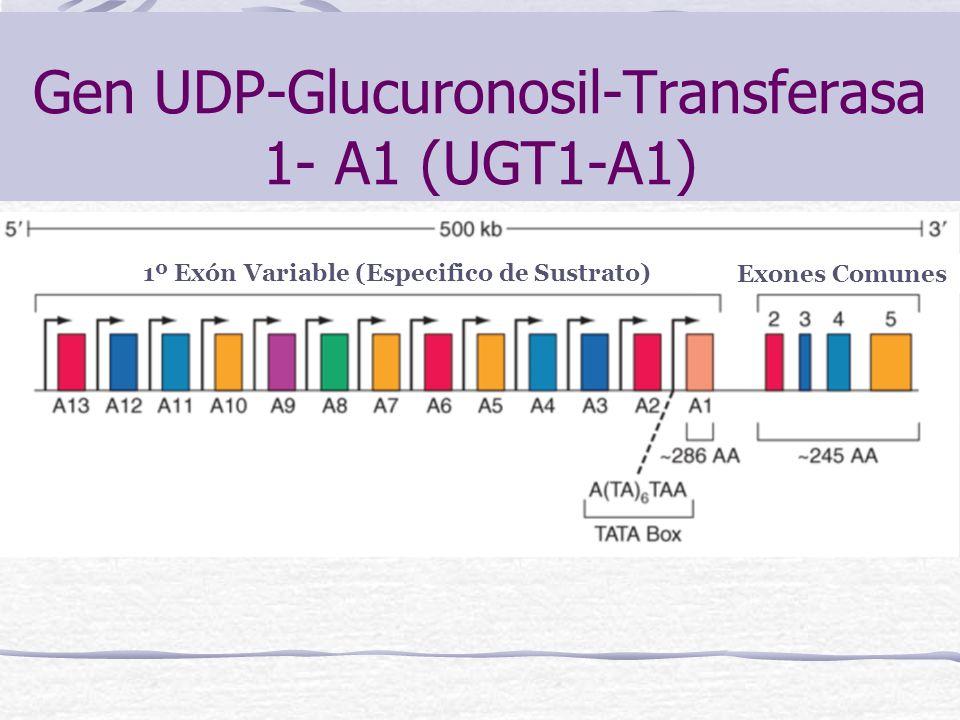 Gen UDP-Glucuronosil-Transferasa 1- A1 (UGT1-A1)