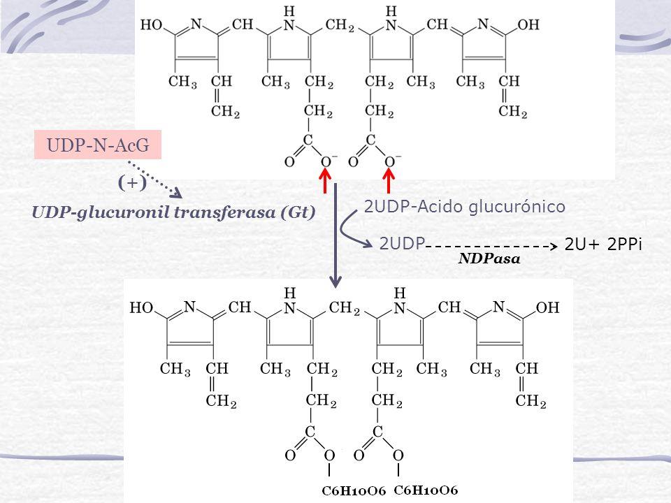 UDP-N-AcG (+) 2UDP-Acido glucurónico UDP-glucuronil transferasa (Gt)