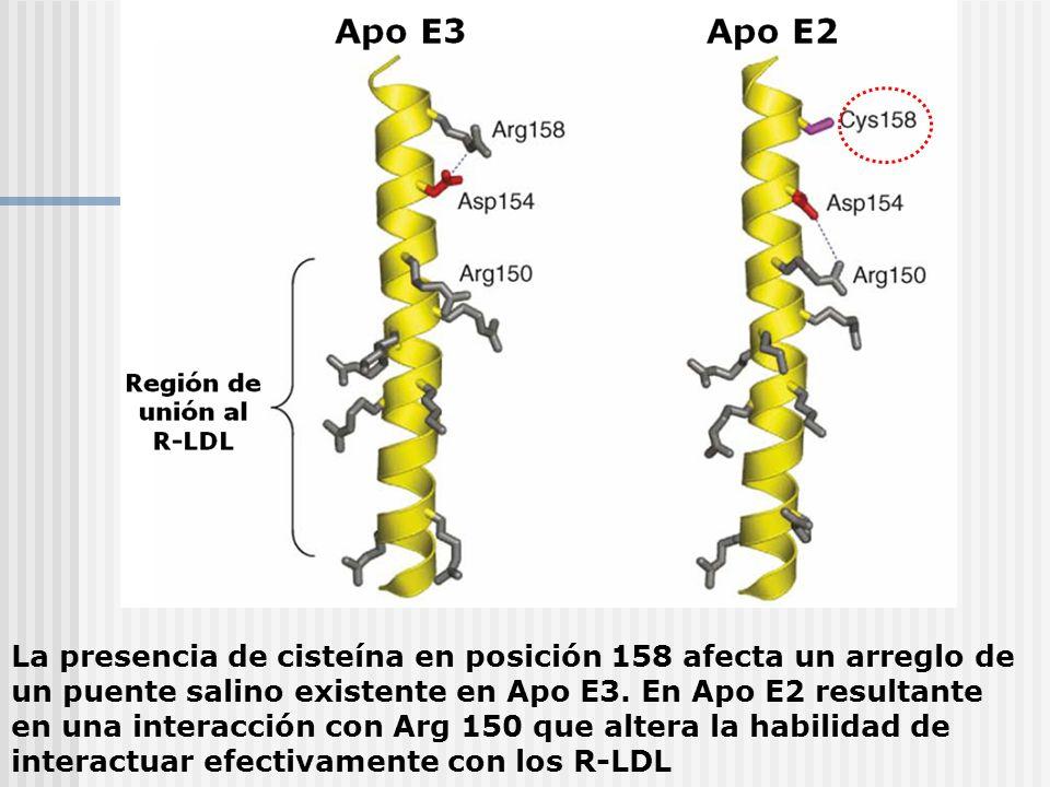La presencia de cisteína en posición 158 afecta un arreglo de un puente salino existente en Apo E3.