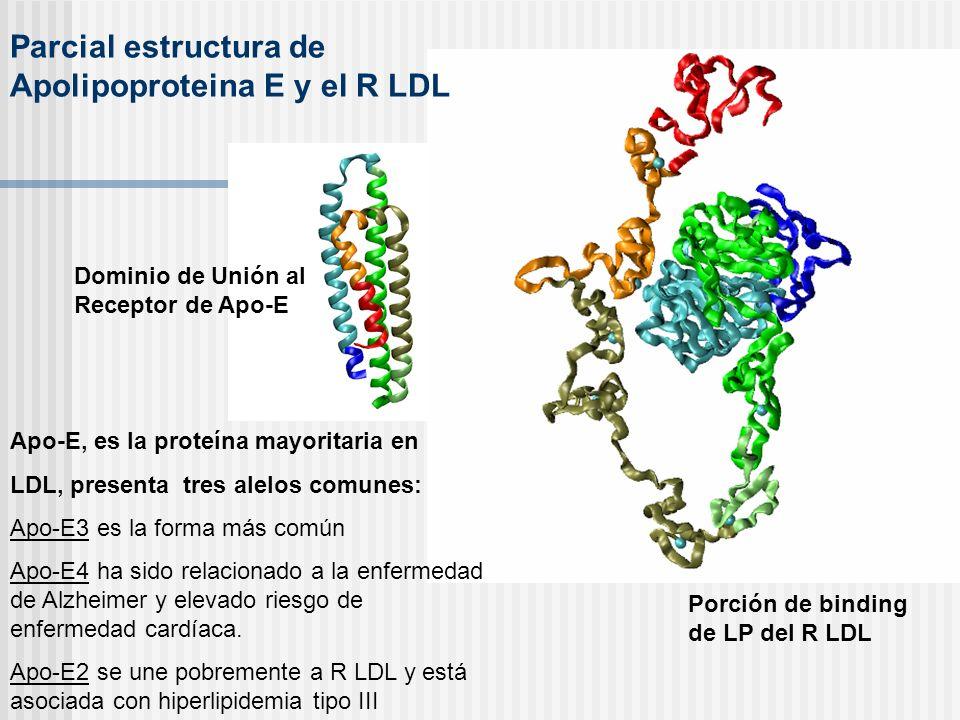 Parcial estructura de Apolipoproteina E y el R LDL