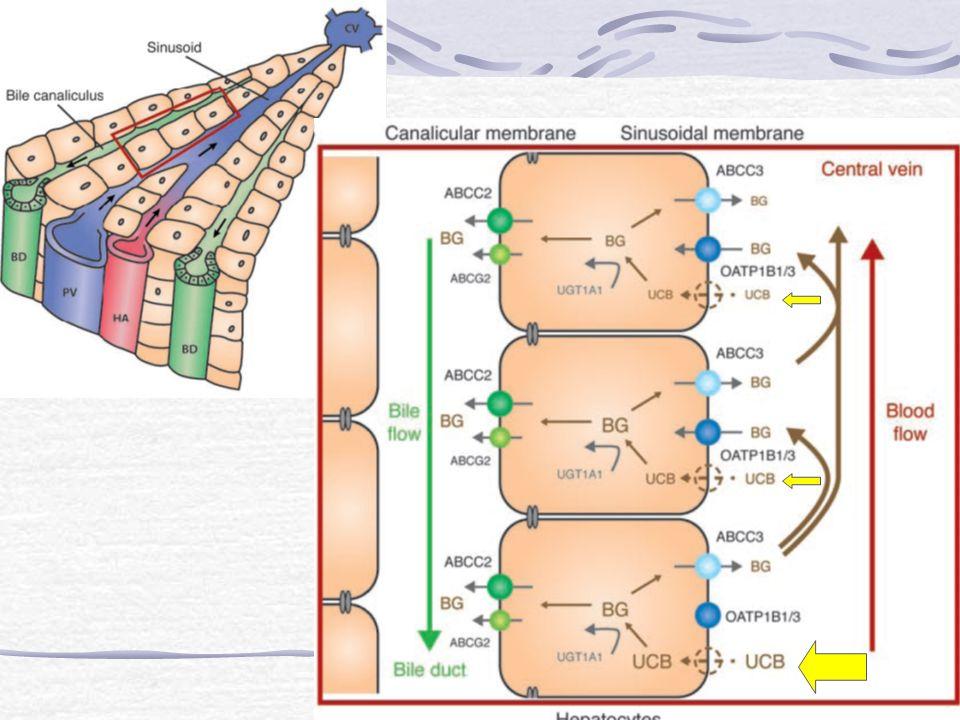 La BNC ingresa al hepatocito por difusión pasiva y/o transportadores que incluyen OATP1B1 y/o OATP1B3.