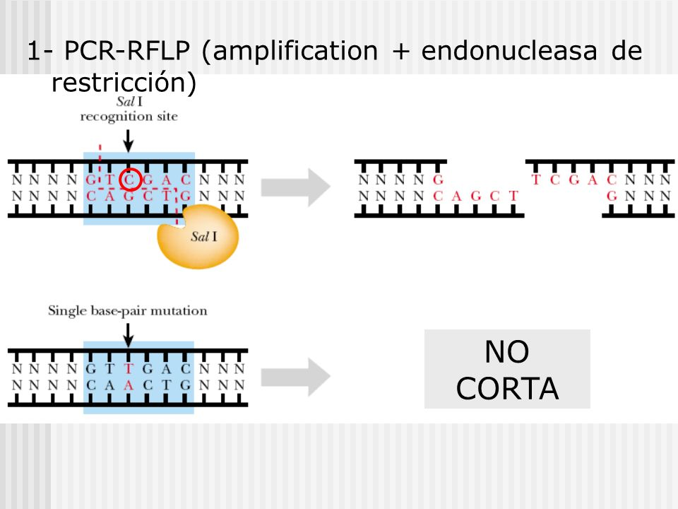 1- PCR-RFLP (amplification + endonucleasa de restricción)