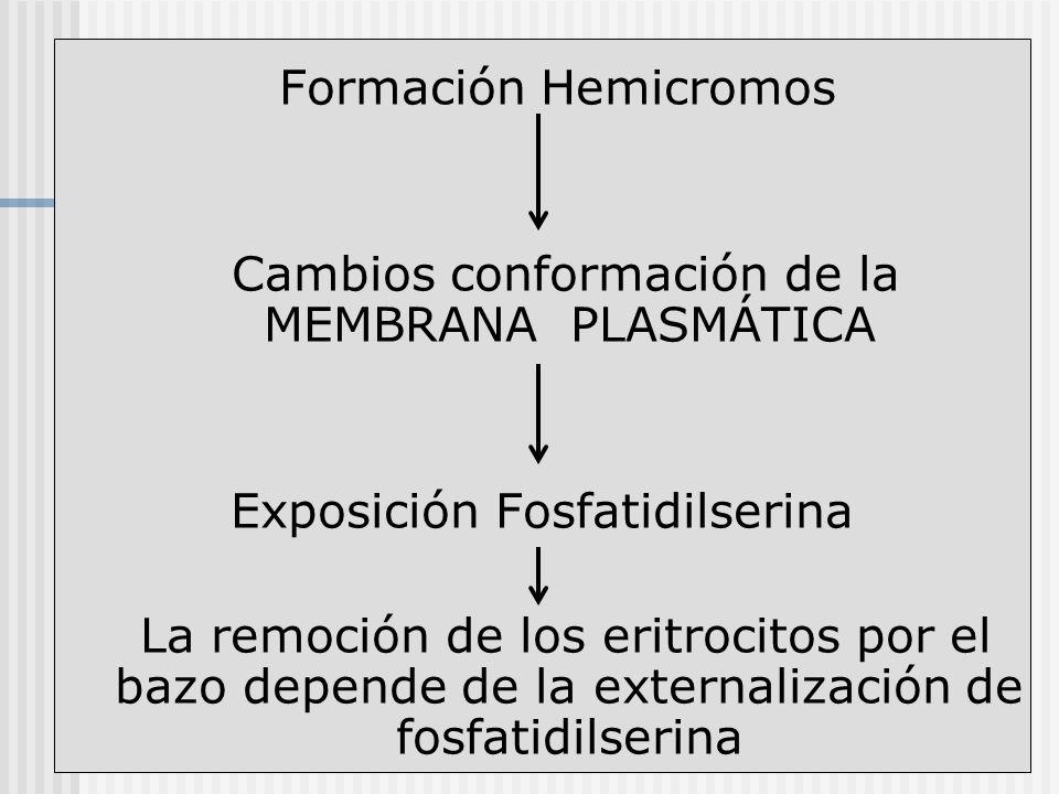 Cambios conformación de la MEMBRANA PLASMÁTICA