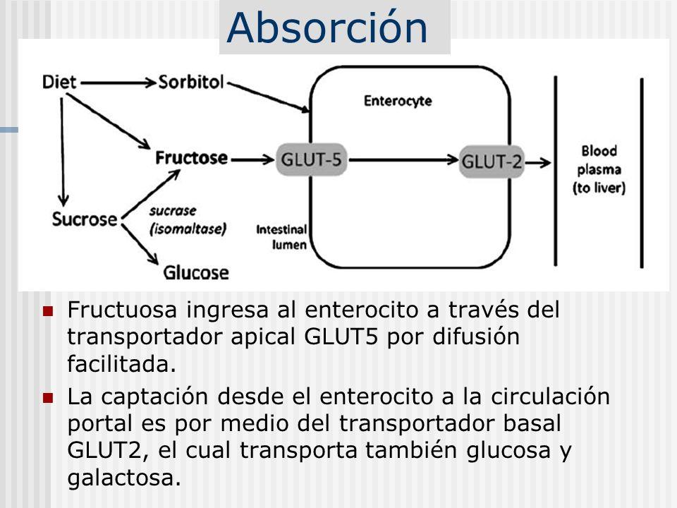 AbsorciónFructuosa ingresa al enterocito a través del transportador apical GLUT5 por difusión facilitada.