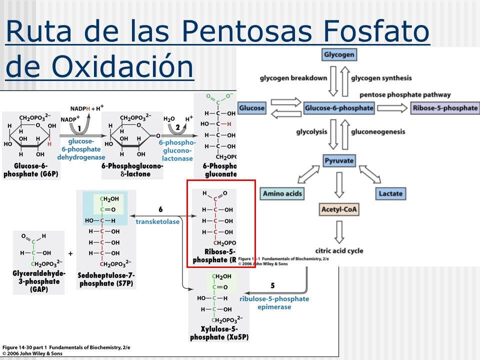 Ruta de las Pentosas Fosfato de Oxidación