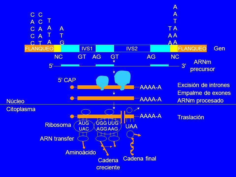 AATAAA CACCC CCAAT TATA ATG TAA Gen NC GT AG GT AG NC ARNm precursor
