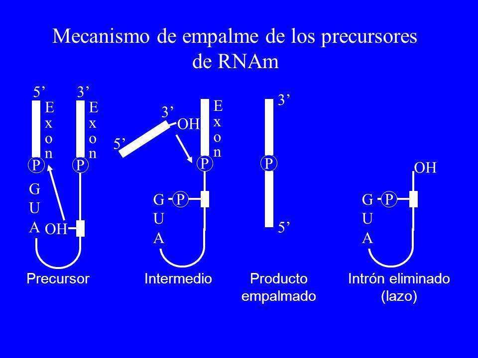 Mecanismo de empalme de los precursores de RNAm