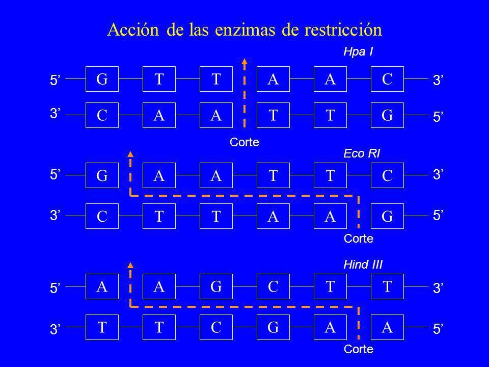Acción de las enzimas de restricción