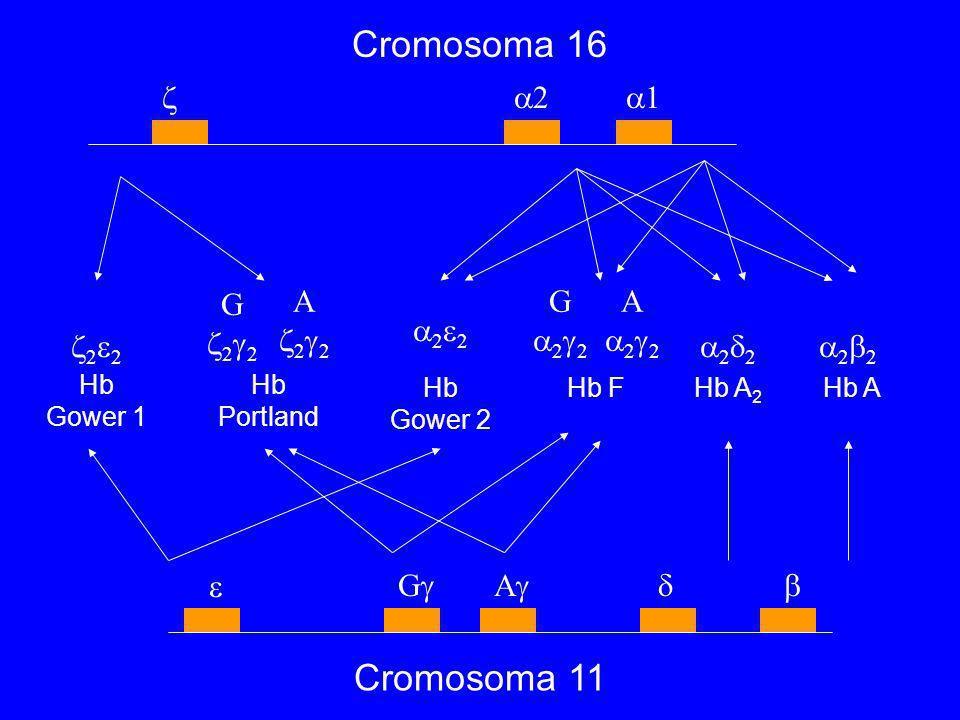 Cromosoma 16 Cromosoma 11  2 1 G 22 A 22 G 22 A 22 22