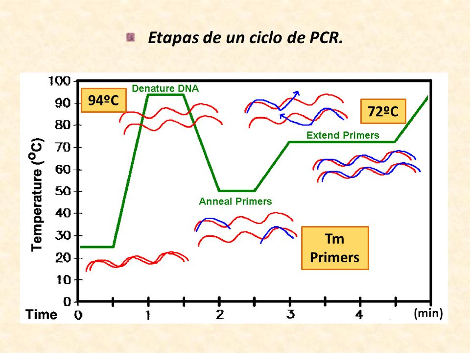Etapas de un ciclo de PCR.