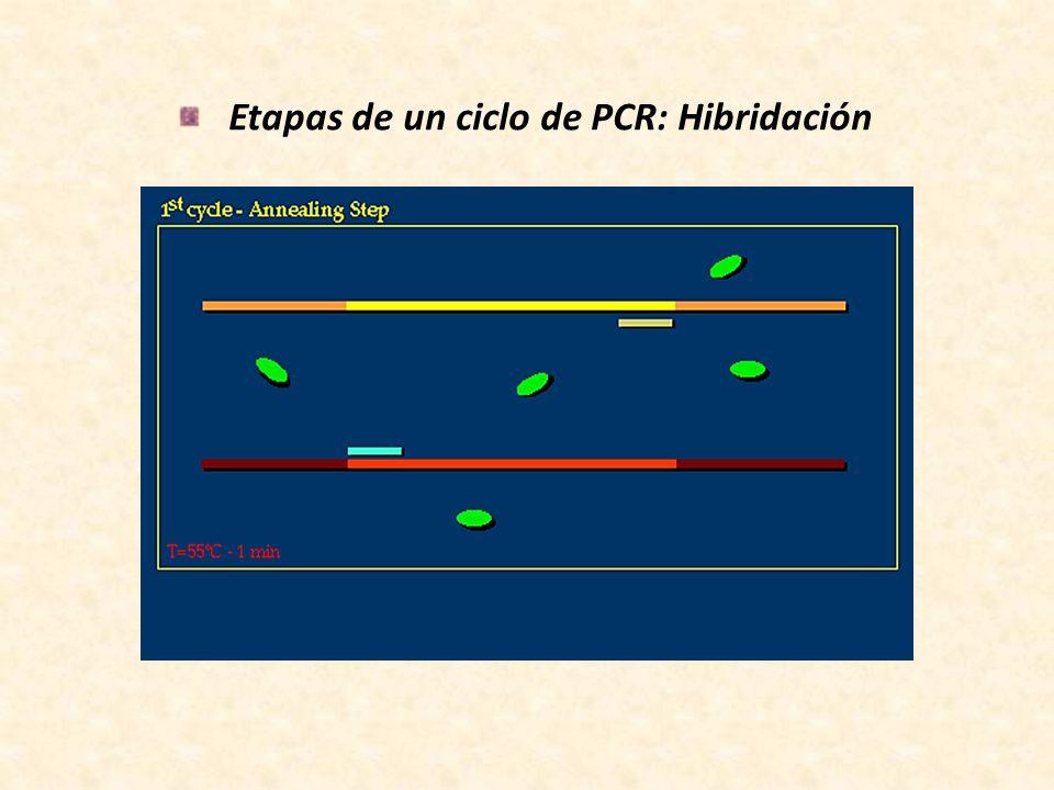 Etapas de un ciclo de PCR: Hibridación