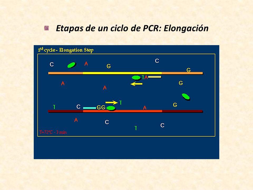 Etapas de un ciclo de PCR: Elongación