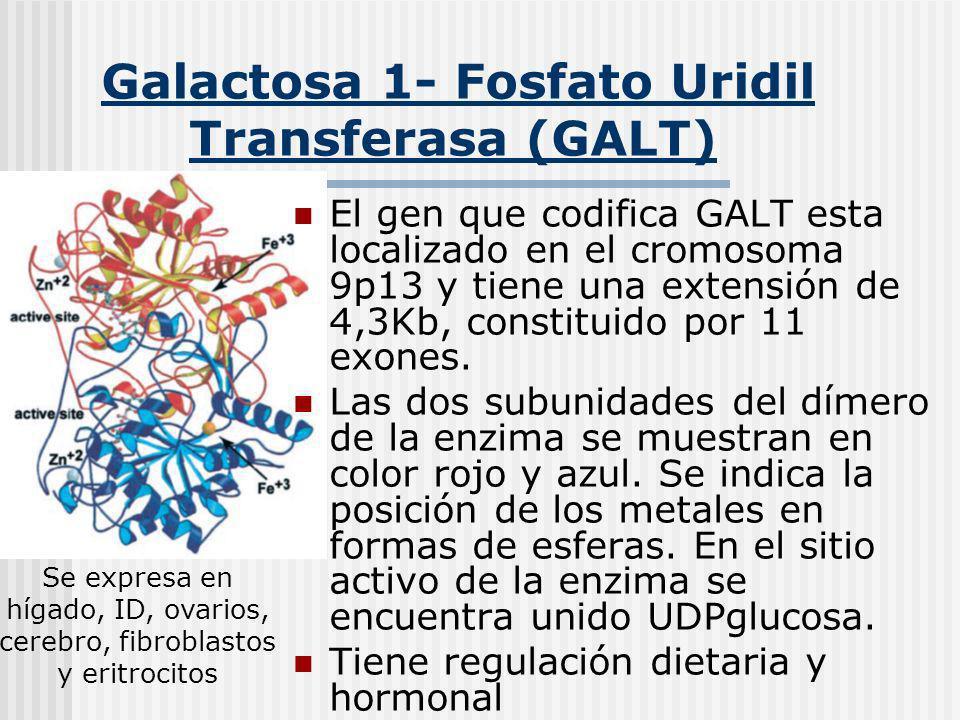 Galactosa 1- Fosfato Uridil Transferasa (GALT)