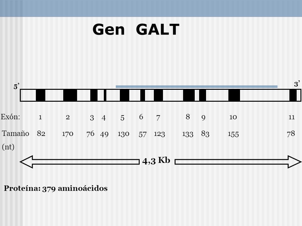 Gen GALT 3' 5'