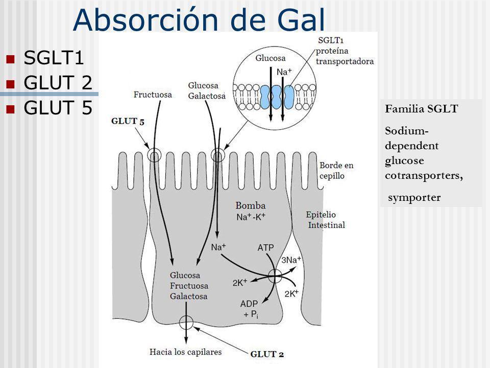 Absorción de Gal SGLT1 GLUT 2 GLUT 5 Familia SGLT