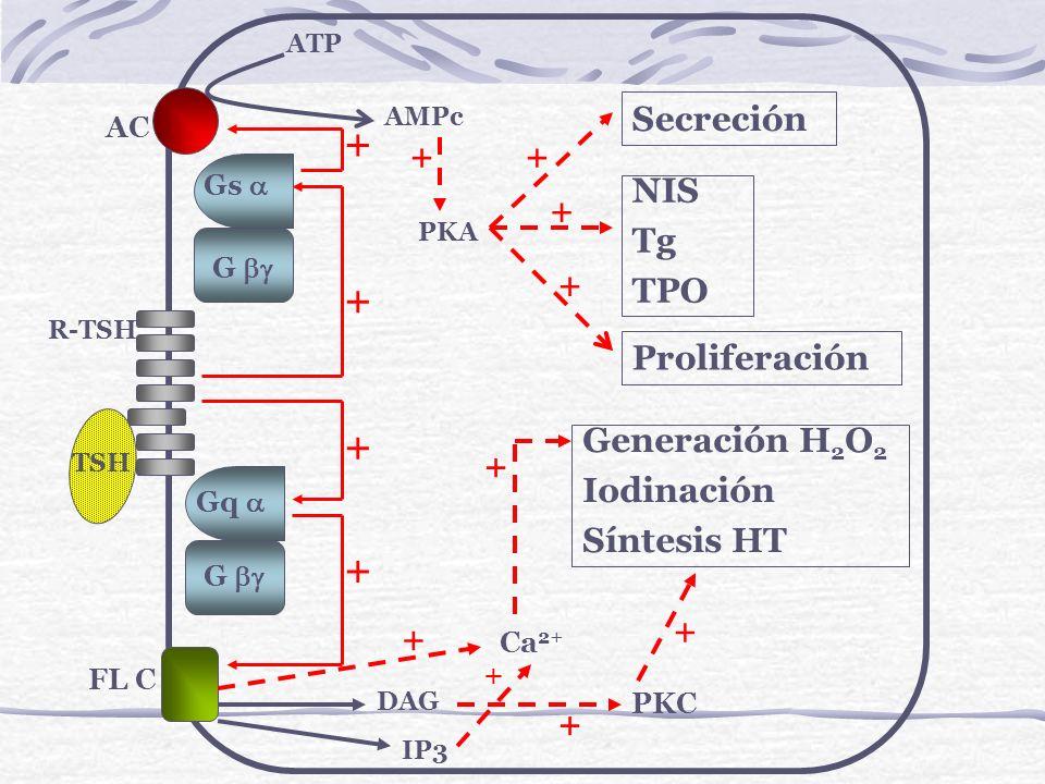 + + + + Secreción + + NIS Tg TPO + + Proliferación Generación H2O2