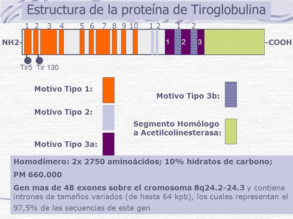 Estructura de la proteína de Tiroglobulina