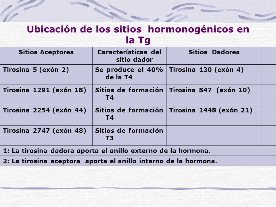 Ubicación de los sitios hormonogénicos en la Tg