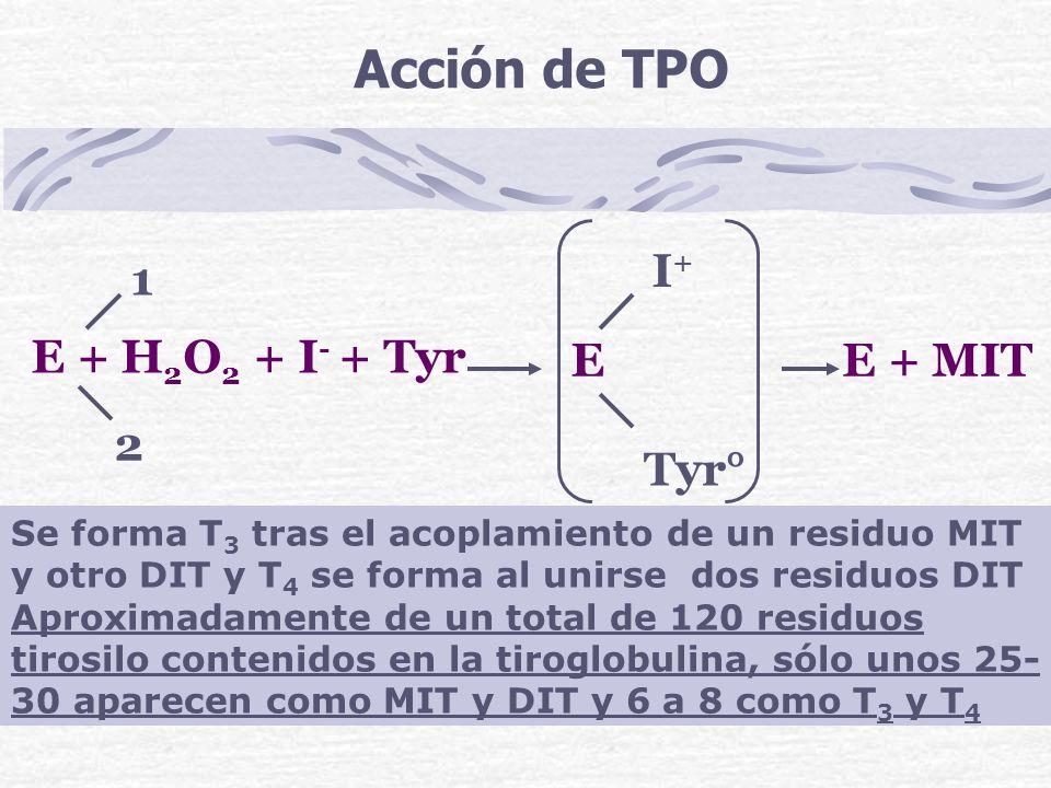 Acción de TPO E + H2O2 + I- + Tyr I+ 1 E E + MIT 2 Tyr°