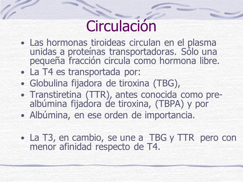 Circulación Las hormonas tiroideas circulan en el plasma unidas a proteínas transportadoras. Sólo una pequeña fracción circula como hormona libre.