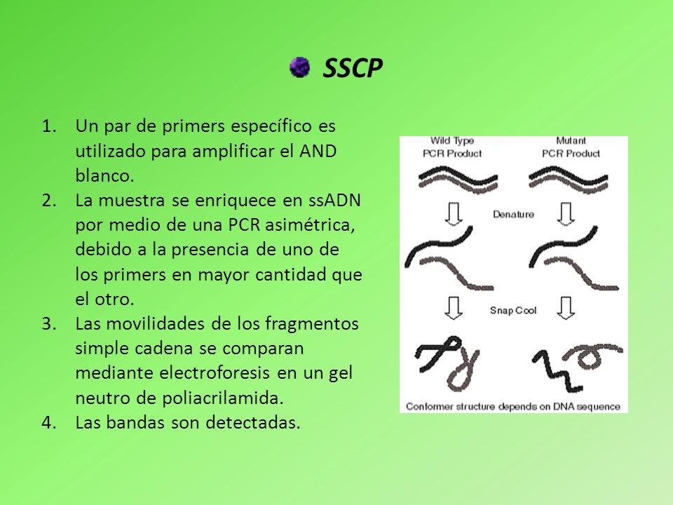 SSCP Un par de primers específico es utilizado para amplificar el AND blanco.