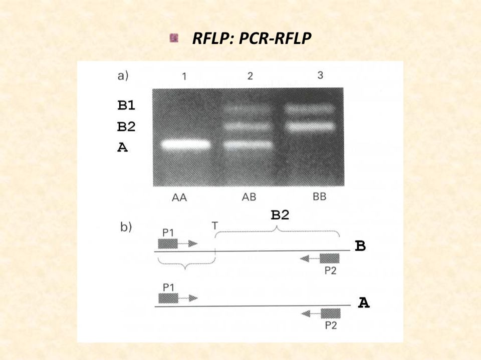 RFLP: PCR-RFLP