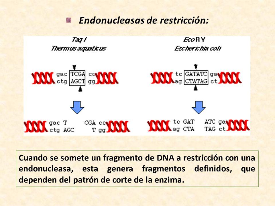 Endonucleasas de restricción: