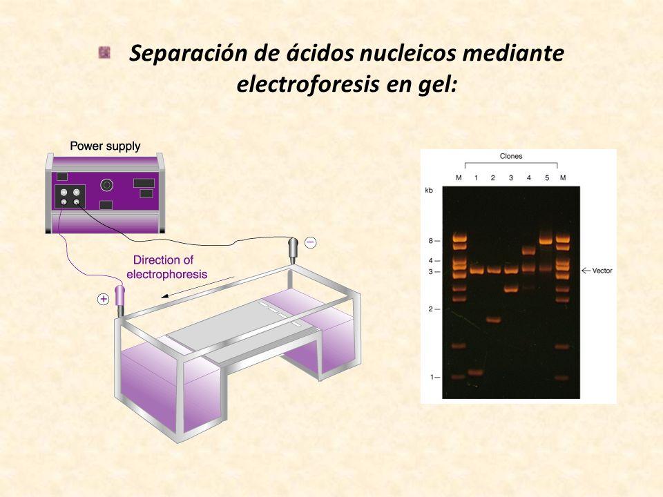 Separación de ácidos nucleicos mediante electroforesis en gel: