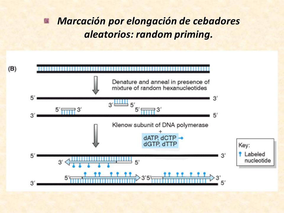 Marcación por elongación de cebadores aleatorios: random priming.