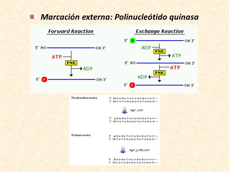 Marcación externa: Polinucleótido quinasa