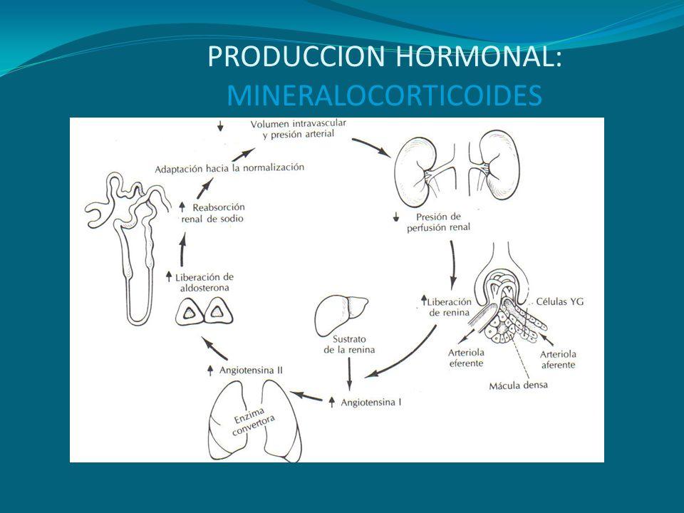 PRODUCCION HORMONAL: MINERALOCORTICOIDES