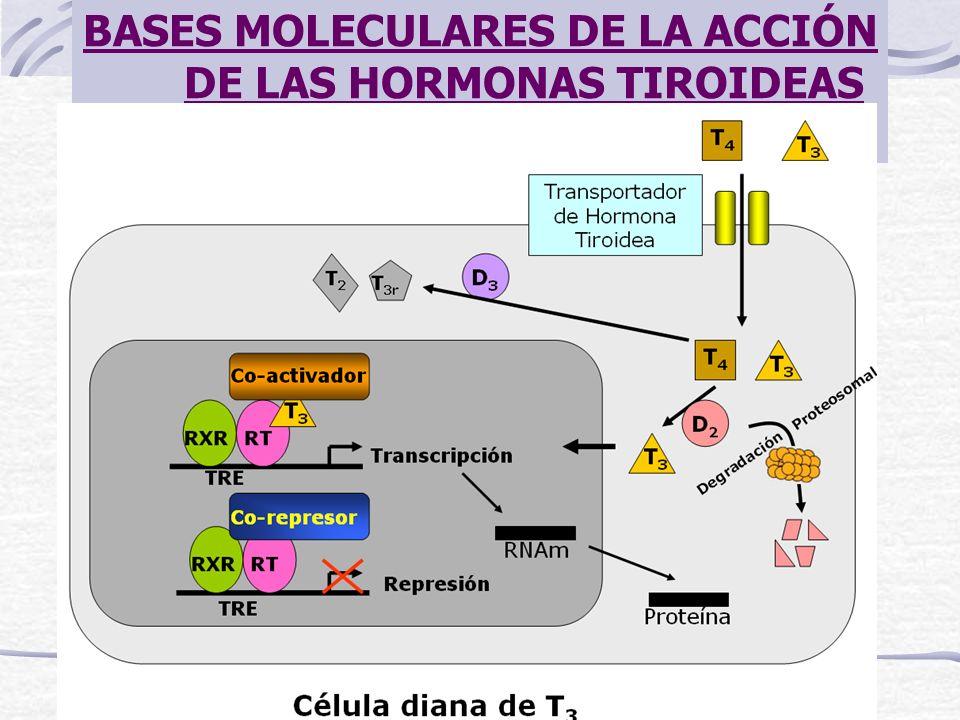 BASES MOLECULARES DE LA ACCIÓN DE LAS HORMONAS TIROIDEAS