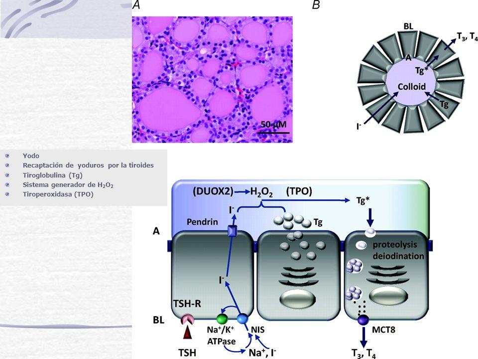 Yodo Recaptación de yoduros por la tiroides. Tiroglobulina (Tg) Sistema generador de H2O2.