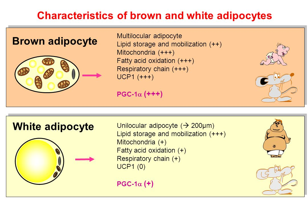 Characteristics of brown and white adipocytes