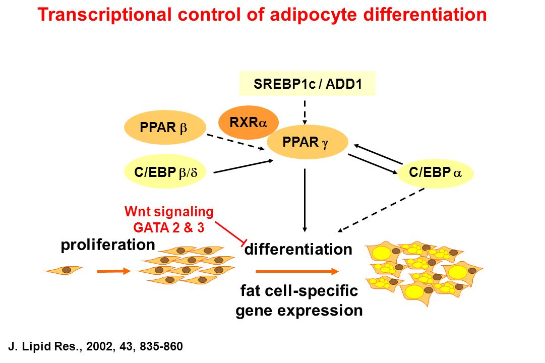 fat cell-specific gene expression