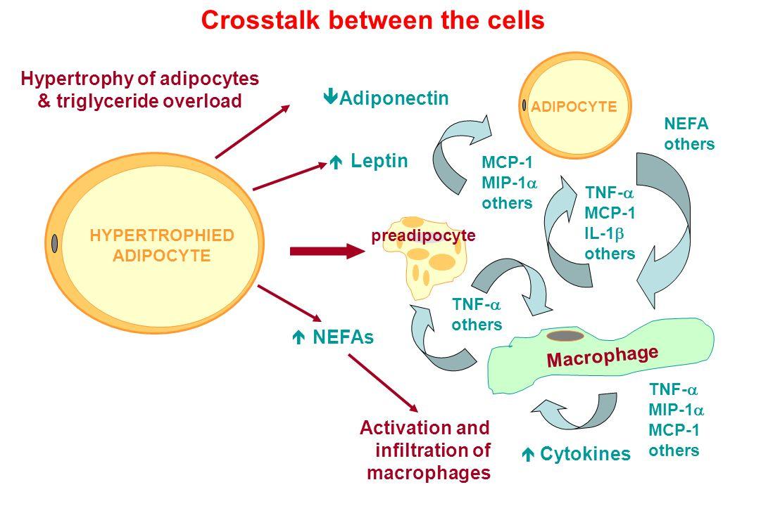 Hypertrophy of adipocytes & triglyceride overload