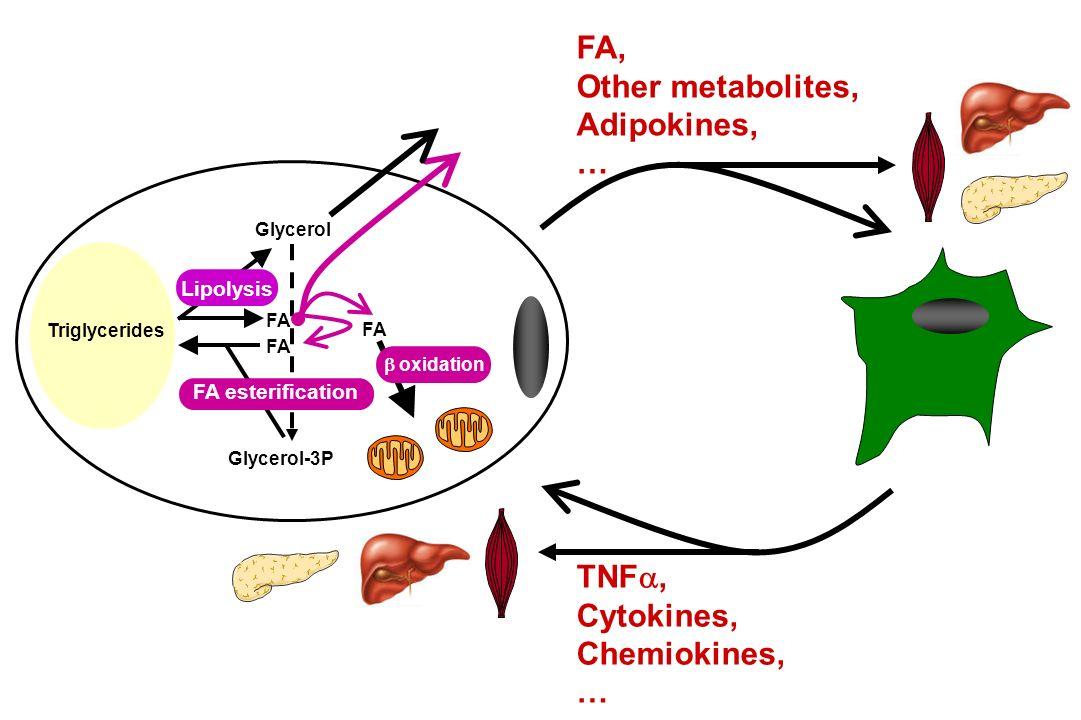 FA, Other metabolites, Adipokines, … TNFa, Cytokines, Chemiokines, …