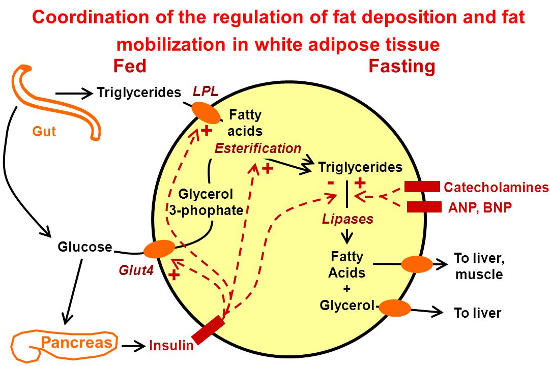 Coordination of the regulation of fat deposition and fat mobilization in white adipose tissue