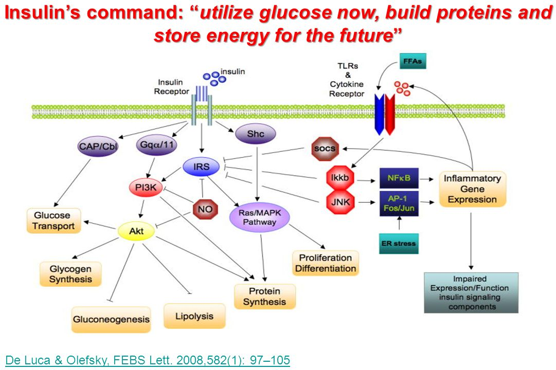 Insulin's command: utilize glucose now, build proteins and store energy for the future