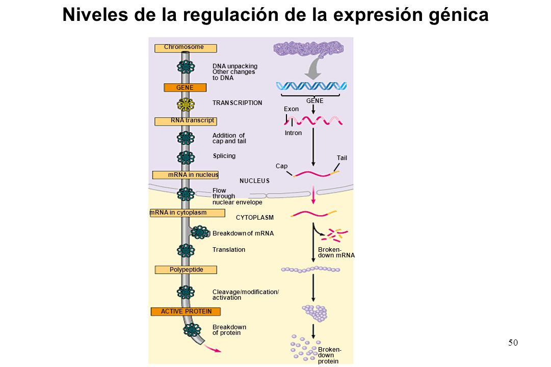Niveles de la regulación de la expresión génica