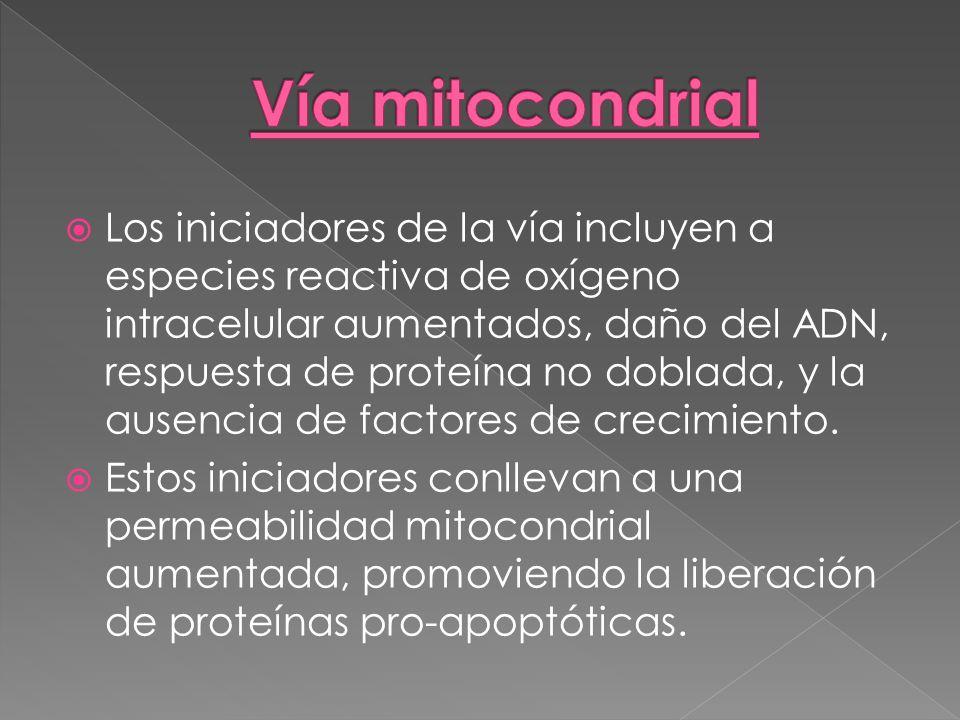 Vía mitocondrial