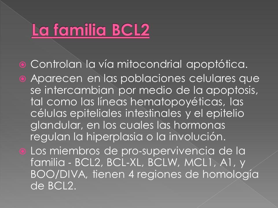 La familia BCL2 Controlan la vía mitocondrial apoptótica.