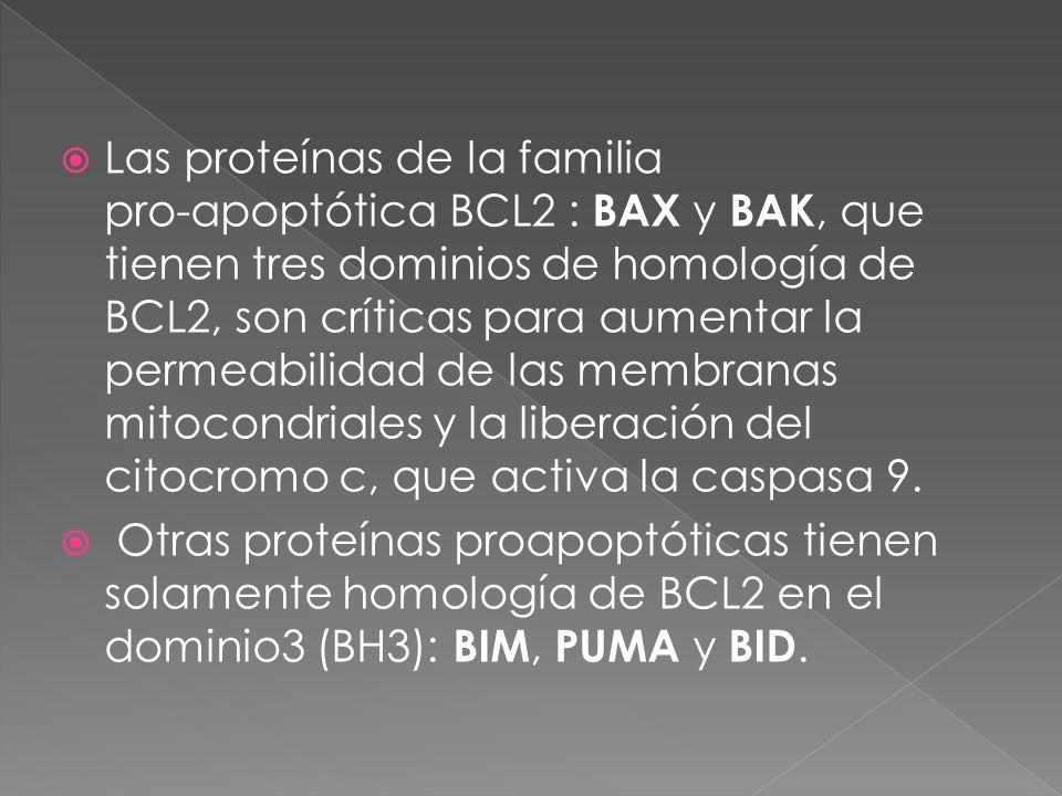 Las proteínas de la familia pro-apoptótica BCL2 : BAX y BAK, que tienen tres dominios de homología de BCL2, son críticas para aumentar la permeabilidad de las membranas mitocondriales y la liberación del citocromo c, que activa la caspasa 9.