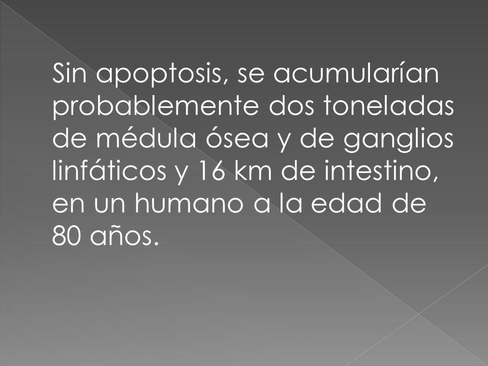 Sin apoptosis, se acumularían probablemente dos toneladas de médula ósea y de ganglios linfáticos y 16 km de intestino, en un humano a la edad de 80 años.