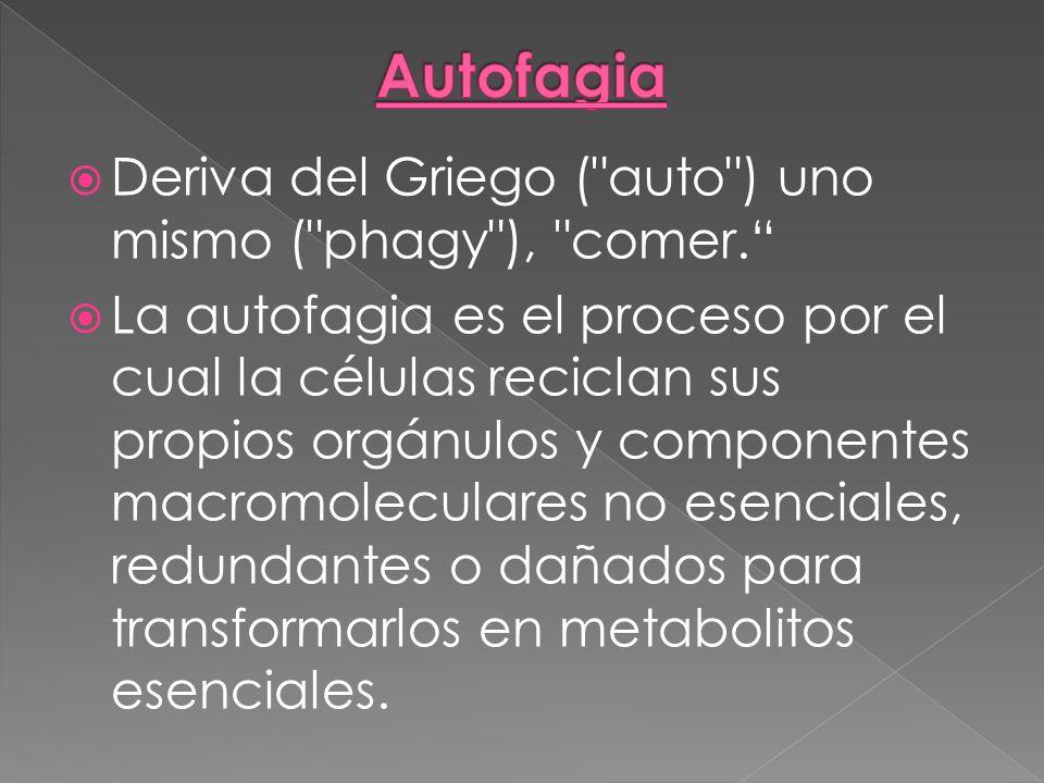 Autofagia Deriva del Griego ( auto ) uno mismo ( phagy ), comer.