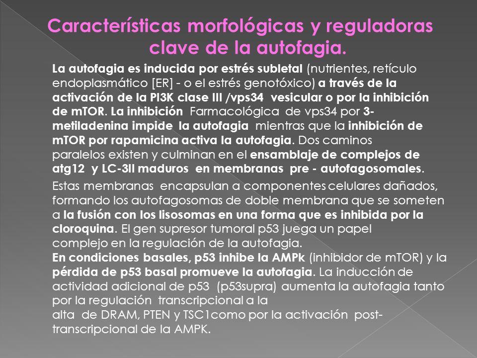 Características morfológicas y reguladoras clave de la autofagia.