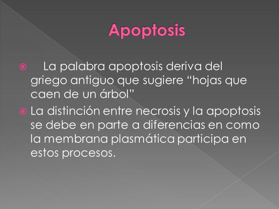 Apoptosis La palabra apoptosis deriva del griego antiguo que sugiere hojas que caen de un árbol