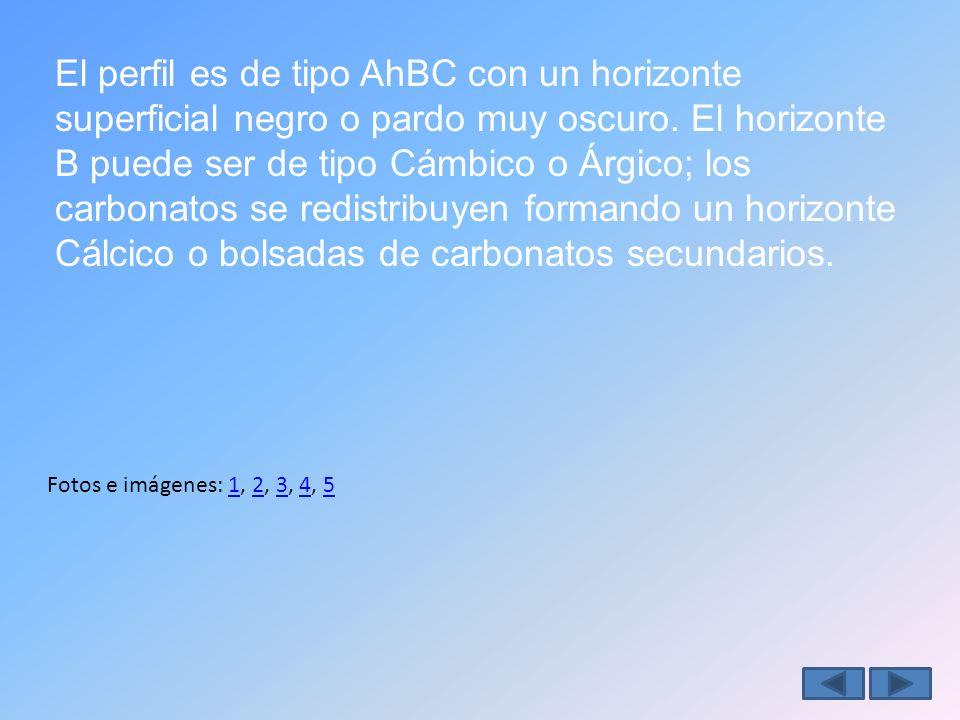El perfil es de tipo AhBC con un horizonte superficial negro o pardo muy oscuro. El horizonte B puede ser de tipo Cámbico o Árgico; los carbonatos se redistribuyen formando un horizonte Cálcico o bolsadas de carbonatos secundarios.