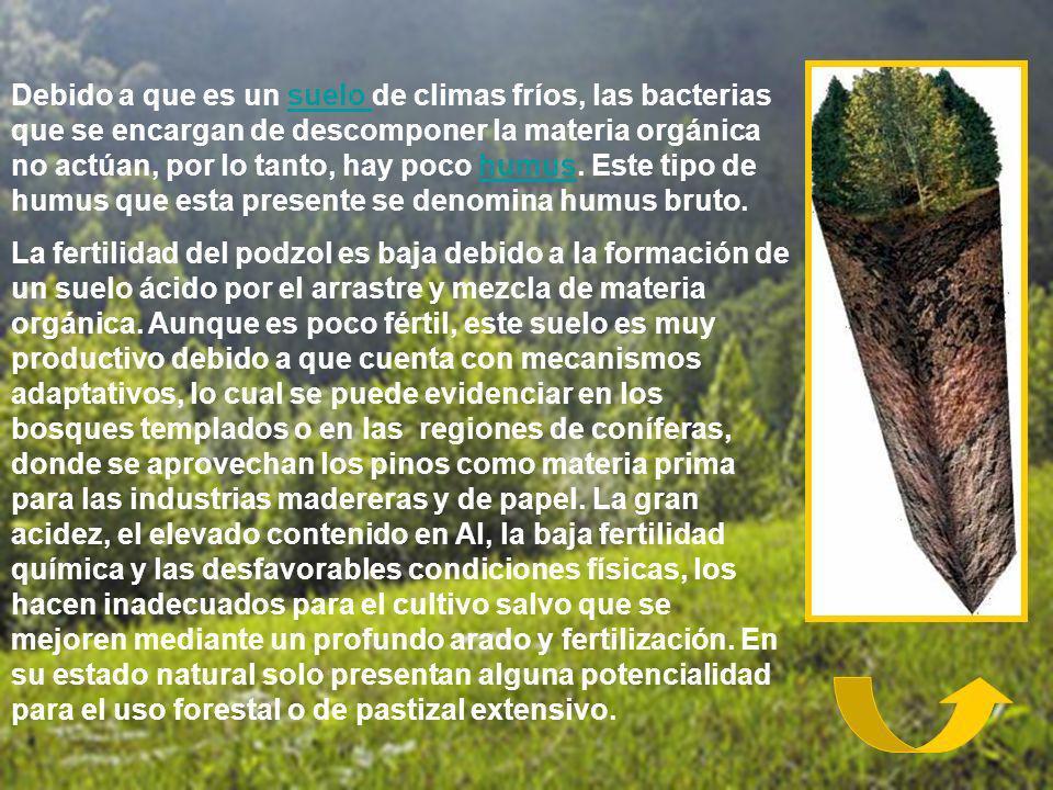 Debido a que es un suelo de climas fríos, las bacterias que se encargan de descomponer la materia orgánica no actúan, por lo tanto, hay poco humus. Este tipo de humus que esta presente se denomina humus bruto.